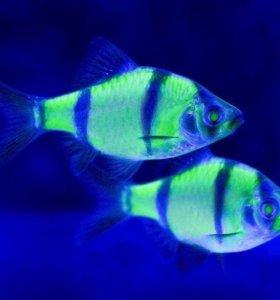 Барбус флуорисцентный