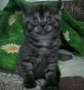 Купить шотландского котенка новочебоксарск