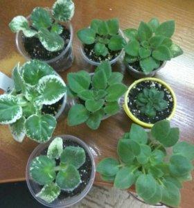растения, фиалочки