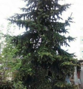 Продается елка 5-6 м. под сруб или комом