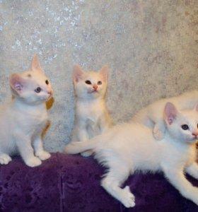7 недель, белые котята