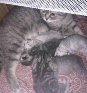 Бронь милейших,умнейших породистых котят