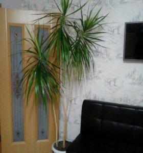 Пальмы Драцены