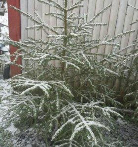 Живые елочки в горшочках