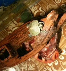 Декоративные черепашки