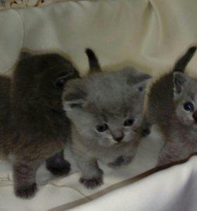 Шотланские прямоухие котята