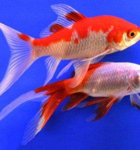 золотые рыбки-кометы