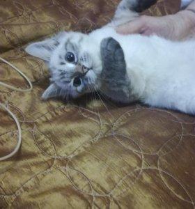 Котята голубоглазки