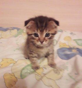 Котята от вислоухой