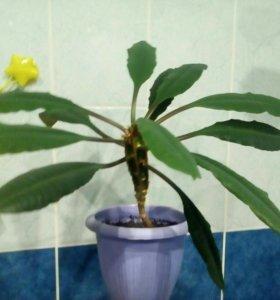Молочай (комнатное растение)