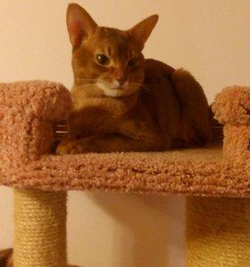 Абиссинский котик.