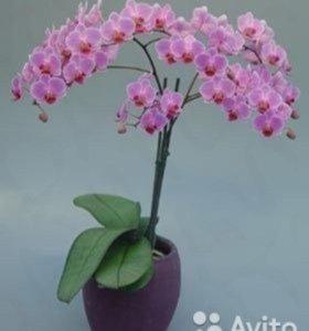 Орхидеи фалинопсис