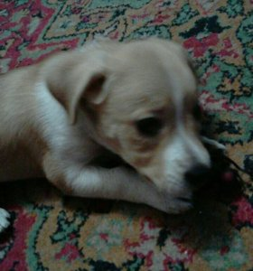 щенок стаффорда.