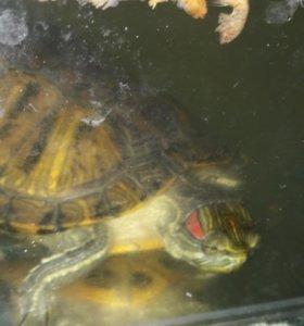 Красноухая водная черепаха с аквариумом
