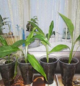 Комнатные растения (спатифиллум - женское счастье)