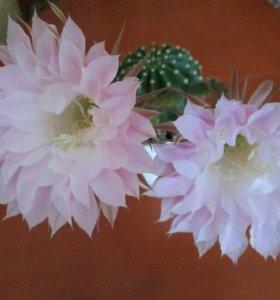 Продаю большой цветок кактус