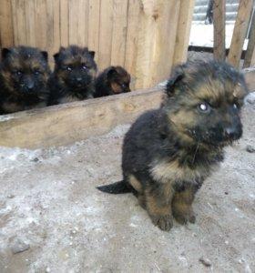 Продам щенков немецкой длинношерстной овчарки.