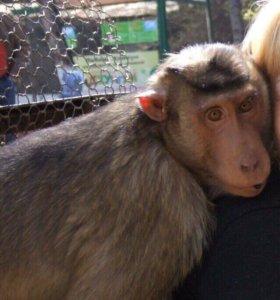 Продам обезьянку вместе с фото-Буткой.