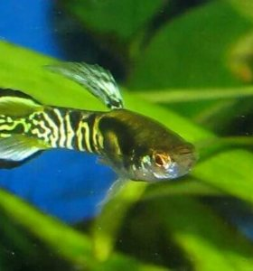 Рыбки аквариумные собственного разведения