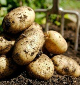 Картофель крупный ( 850 р куль)
