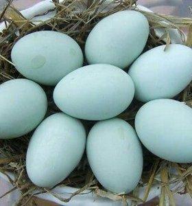 Яйцо кремового легбара