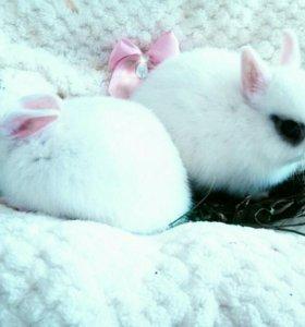 Милый белоснежный карликовый кролик