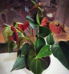 Комнатные растения, Антуриум в горшке. Цветы.