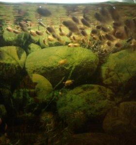 Цихлиды, цихлазомы, аквариумные рыбки