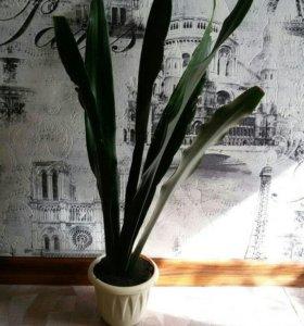 Сансевиерия (цветет)