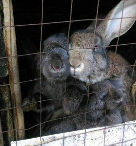 Домашнее мясо кроликов