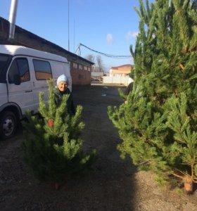 Рождественские деревья сосны ёлки