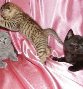 Чистокровные котята