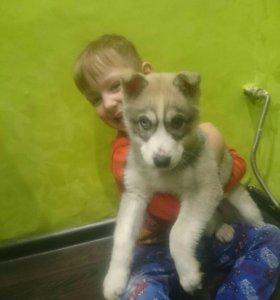 Щенок сибирской хаски 3 месяца девочка