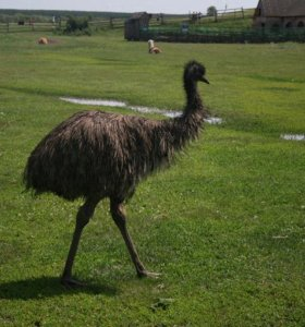 Австралийский страус эму