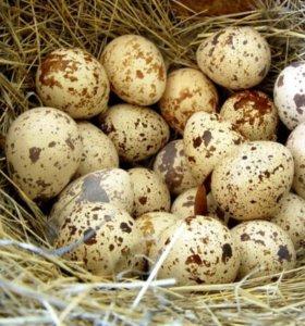 Инкубационное яйцо перепелов.
