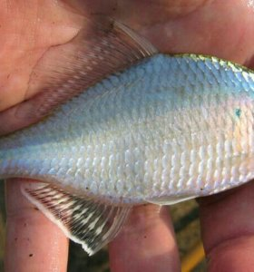Горчак, живые ( Синявка ) на живца для рыбалки