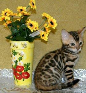 Бенгальский котик для брони.