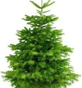 Живые елки с доставкой