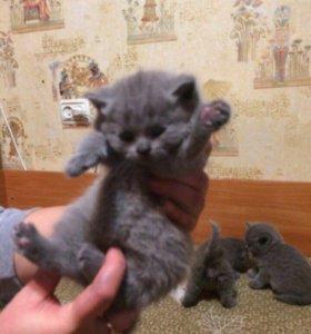 Котенок британский! Кошечка ! Девочка