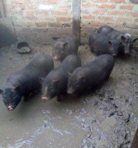 Ветнамские свинки