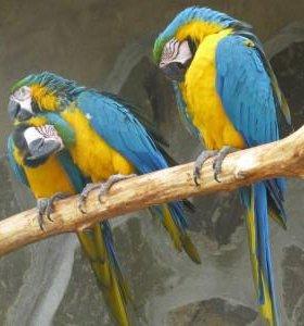 Ара(зелено-крылый,сине-желтый)