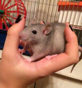 Крыса + клетка ( со всеми удобствами)
