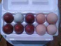 Инкубац.яйцо породистых кур