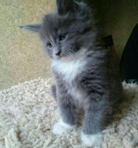 котята мейн-кун в Раменском