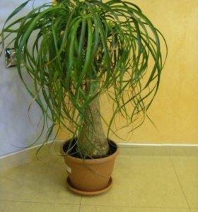 Продам Нолину (Бутылочное дерево)