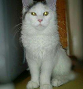 Кошка, 7 месяцев, мейн-кун