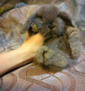 """Крольчата породы """"Вислоухий баран"""""""