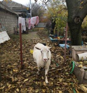 Продам козла безрогого или для случки