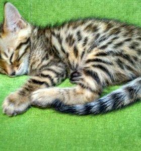 Бенгальский леопардик
