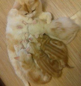 Котенок прямоухий мальчик